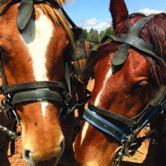 horse team closeup